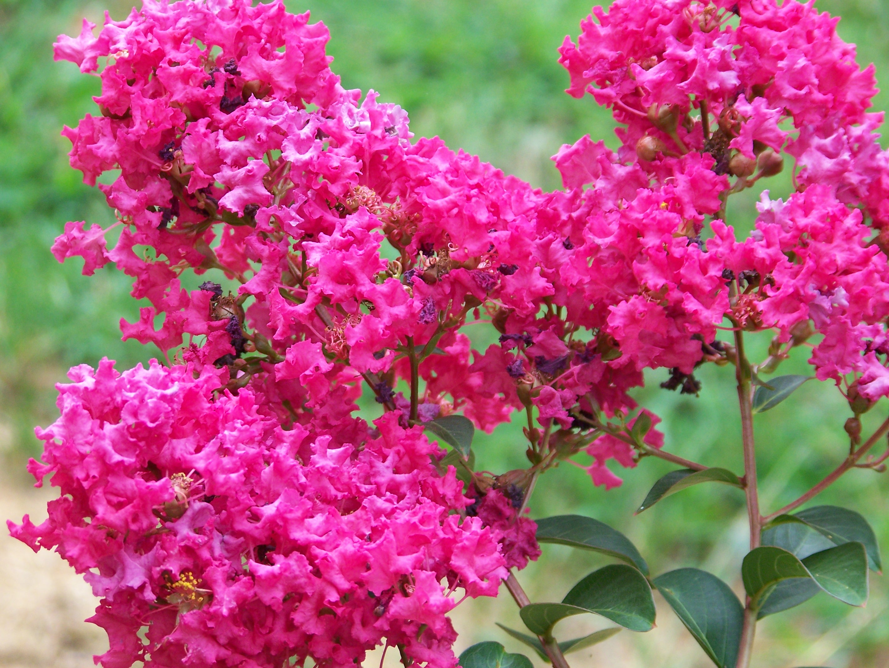 Kingstown Farm, Home and Garden Horticulture Meeting: Viburnums and Crape Myrtles