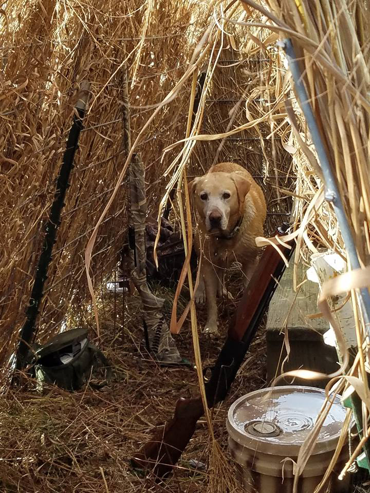 End of the flyway Yellow Lab Goose Blind