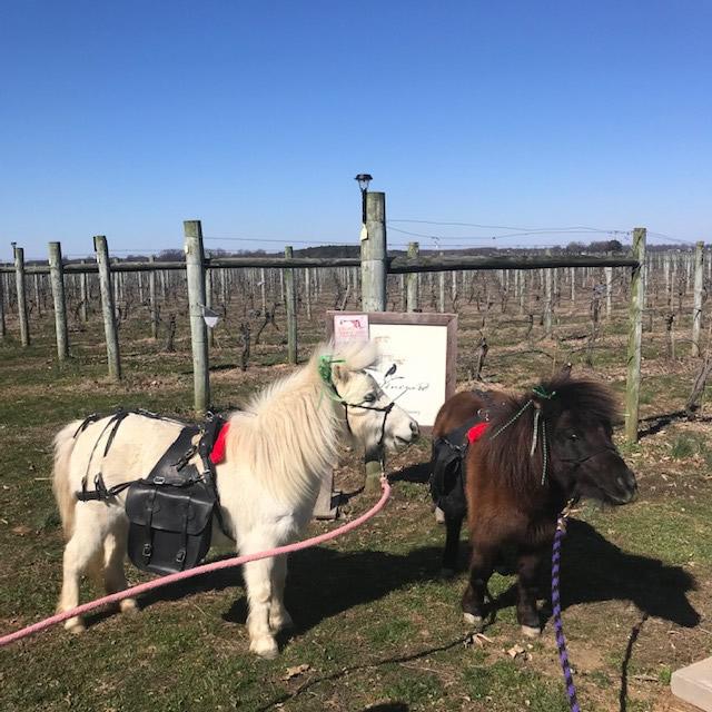 Vineyard Walk with Mini Horses